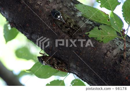 照片素材(图片): 棕色大蝉 蝗虫 蝉