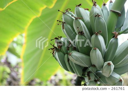 香蕉 香蕉树 植物