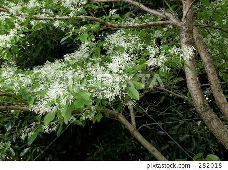 流苏树 中国流苏树 木犀科(植物种类)