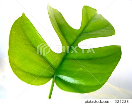 树叶 蓬莱蕉 叶子