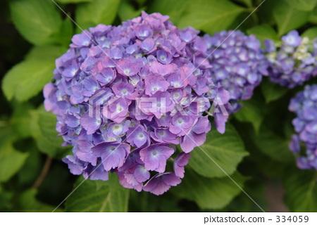 照片 植物_花 绣球花 紫色 绣球花  pixta限定素材      紫色 绣球花