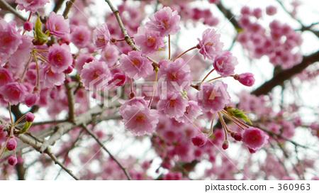 照片: 花朵 春天 粉色