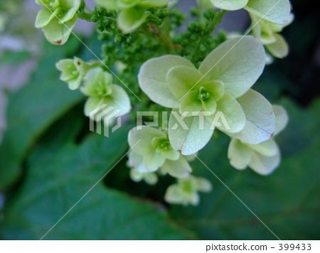 绣球花 柏叶 白色鲜花
