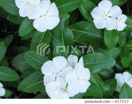照片 长春花 夹竹桃 白色  pixta限定素材      长春花 夹竹桃 白色[4