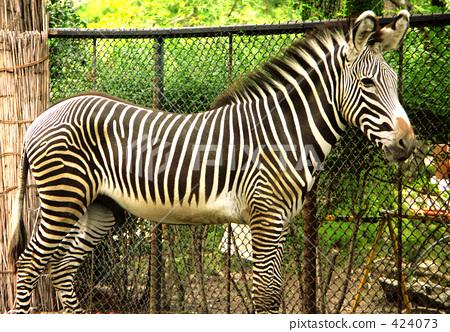 斑马 条纹式样 动物园