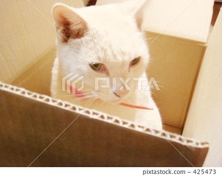 首页 照片 动物_鸟儿 猫 白猫 装箱的 白猫 硬纸板  *pixta限定素材仅