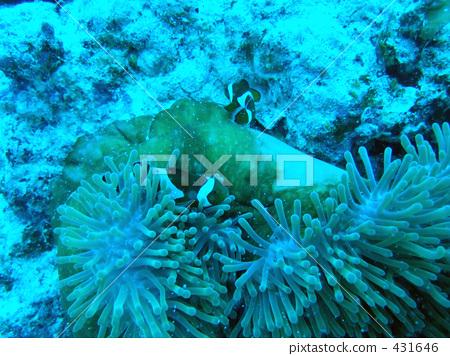 照片: 热带鱼 座间味岛 小丑鱼