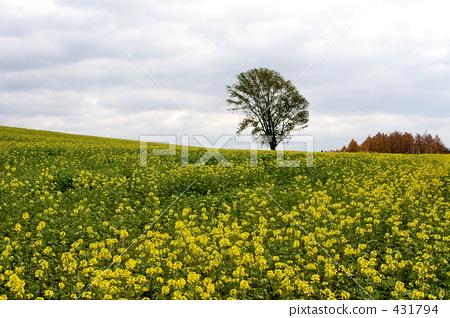 图库照片: 哲学树 油菜花 油菜