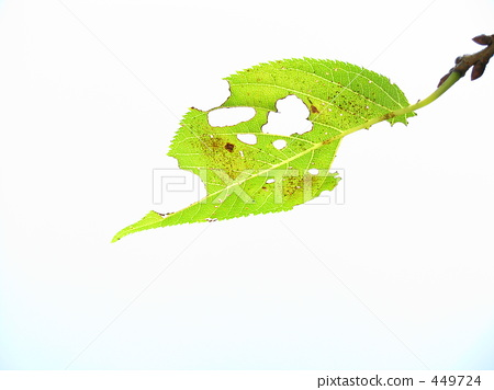 树叶 被虫啃 叶子