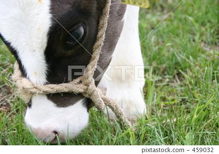 牛动物肠的结构图