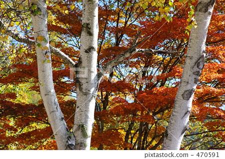 银桦树 日本白桦 桦树