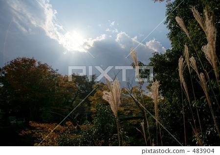 照片素材(图片): 芒草 日本蒲苇 猿桥