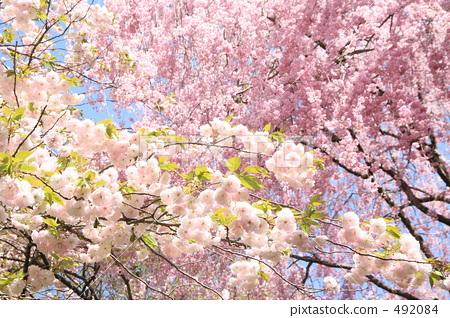 樱桃树 重瓣樱树 樱花
