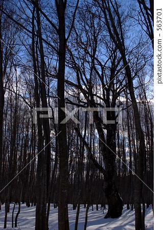 图库照片: 山毛榉森林 枯树 在山里