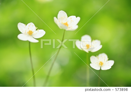 秋牡丹 软白头翁 早春