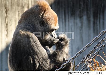 图库照片: 大猩猩 动物园 外形