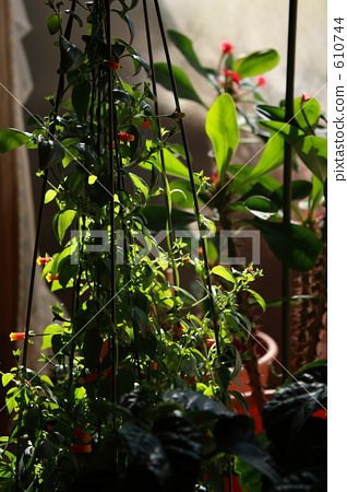 室内盆栽 观叶植物 灌装的