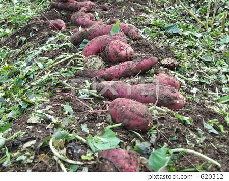 照片素材(图片): 红薯 番薯 地瓜