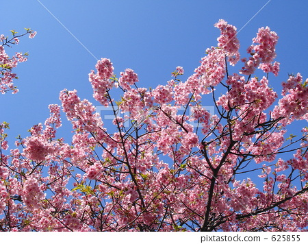 樱花 樱桃树 河津樱