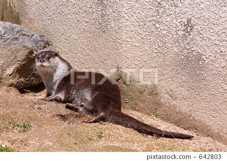 水獭 鼬鼠 动物园中的动物