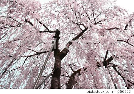 春天 树枝低垂的樱花树 牡丹饼
