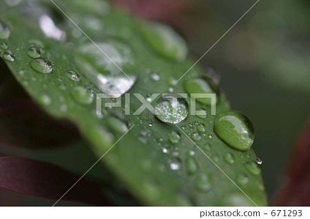 银杏叶 树叶 水滴