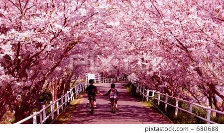 一排树 樱桃树 樱花