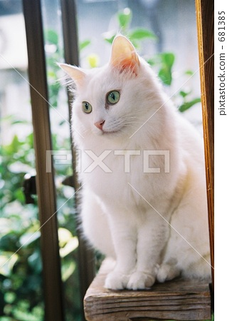 可爱猫咪视频手机壁纸白猫