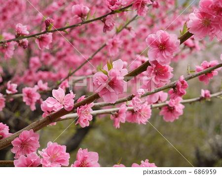 正在开花的桃树 红叶