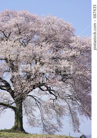江户彼岸樱树 双层垂枝的玫瑰花蕾樱桃-图库