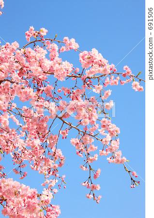 双垂柳樱花树