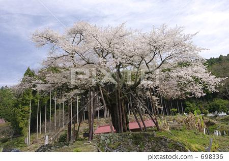 花朵 千年樱花 江户彼岸樱树