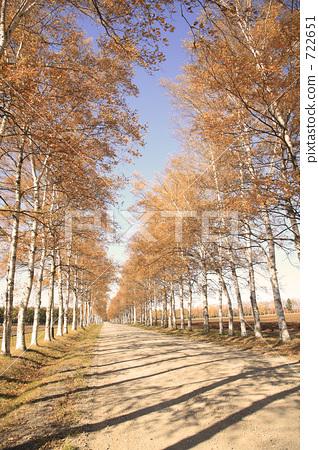 大道 成行的日本白桦树 银桦树
