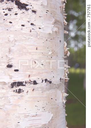 茎 银桦树 果皮