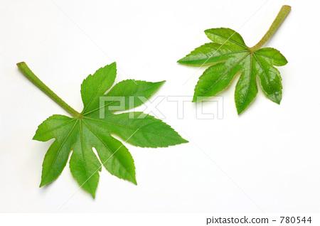 树叶 日本八角金盘 叶子