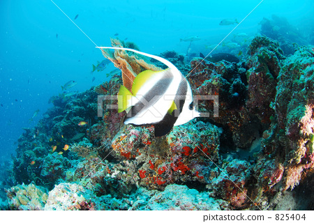 鱼 马尔代夫 漂亮