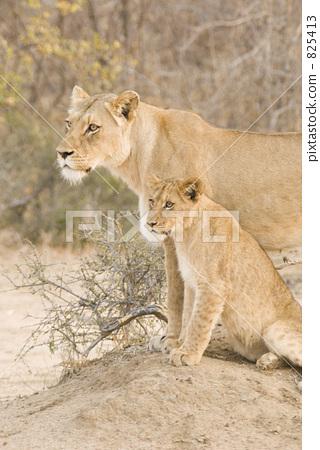 壁纸 动物 狮子 桌面 320_450 竖版 竖屏 手机