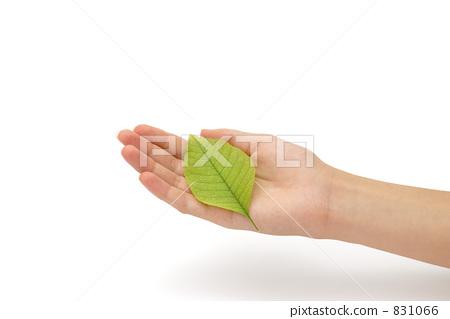 树叶 银杏叶 人类的手