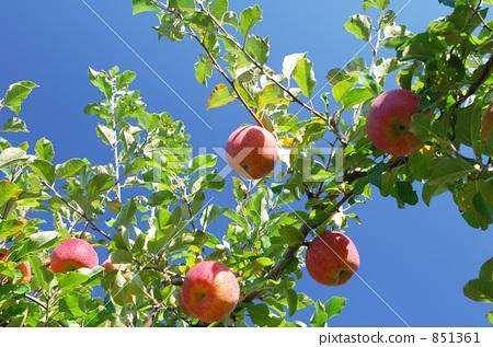 水果 苹果树上 苹果