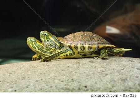爬行动物 乌龟 甲壳