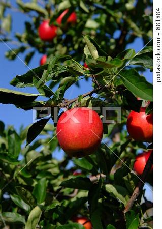 苹果 苹果树上 弘前