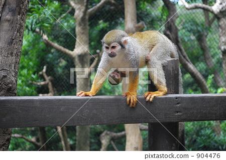 松鼠猴 猴子 动物园