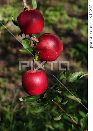 苹果树上 红苹果 红宝石