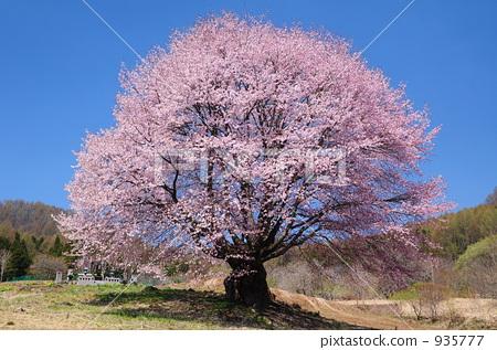 樱桃树 山樱桃 樱花