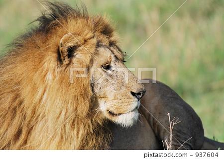 狮子 母狮 动物-图片素材 [937604] - pixta