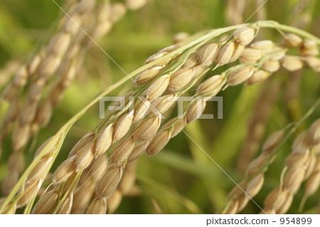 稻穗 秋天 丰收
