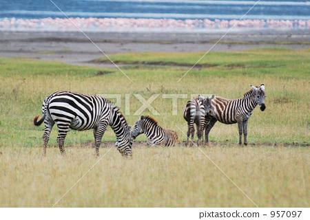 图库照片: 斑马 动物 热带大草原