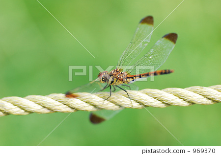 褐顶赤蜻 一只小动物 秋天
