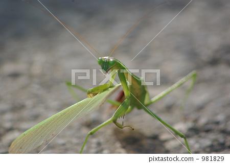 照片素材(图片): 台湾大刀螳 日本巨螳螂 螳螂
