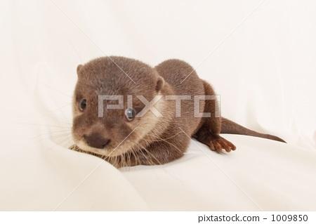 图库照片: 亚洲小爪水獭 小动物 宠物